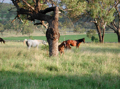 PLAINTREE FARMS - The New Home of the Nonda Horses