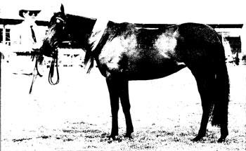 Woodbridge Gazelle