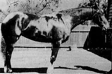 Miss Maltese photographed in 1919 after her win the Juvanile Stakes in Sydney. The filly was bred by NH Brown